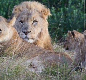 Αγέλη με λιοντάρια κατασπάραξε 3 λαθροθήρες σε πάρκο αγρίων ζώων στη Ν. Αφρική (ΦΩΤΟ) - Κυρίως Φωτογραφία - Gallery - Video