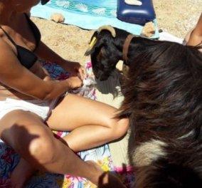 Βίντεο: Μια αξιολάτρευτη κατσίκα έκανε βόλτες ανάμεσα στους λουόμενους σε παραλία της Κρήτης και... έγινε viral  - Κυρίως Φωτογραφία - Gallery - Video