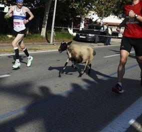 Βίντεο ξεκαρδιστικό! Τα πρόβατα έντρομα πέφτουν πάνω στους δρομείς του Μαραθωνίου -Ο τσοπάνης τρέχει ξωπίσω του  - Κυρίως Φωτογραφία - Gallery - Video
