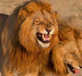 Εδώ βλέπουμε δυο λιοντάρια να ξεκαρδίζονται στα γέλια καθώς κουτσομπολεύουν στην βόλτα τους (φωτό) - Κυρίως Φωτογραφία - Gallery - Video