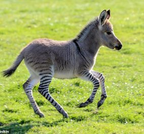 Ζonkey: Μόλις γεννήθηκε το μωρό μιας ζέβρας που ερωτεύτηκε έναν γάιδαρο - Το μεγαλείο της φύσης (Φωτό) - Κυρίως Φωτογραφία - Gallery - Video