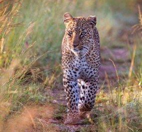 Λεοπάρδαλη όρμηξε σε σπίτι στην Ινδία, άρπαξε 3χρονο αγόρι και το κατασπάραξε! - Κυρίως Φωτογραφία - Gallery - Video
