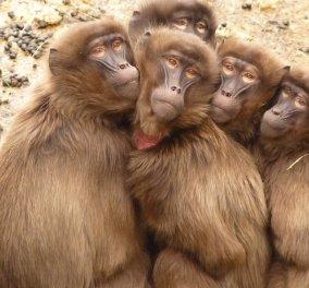 Μπαμπουίνοι έζησαν με καρδιά χοίρου για πάνω από 6 μήνες - Τι μπορεί να σημαίνει για τους ανθρώπους - Κυρίως Φωτογραφία - Gallery - Video