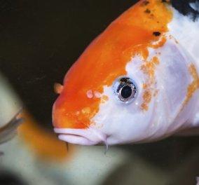 1,5 εκ ευρώ πωλήθηκε ζωντανό σπάνιο ψάρι! Γιατί ο αγοραστής έδωσε το αστρονομικό ποσό;   - Κυρίως Φωτογραφία - Gallery - Video