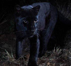 Βίντεο: Mην φοβηθείτε.... Σπάνια μαύρη λεοπάρδαλη έσκασε μύτη μετά από 100 χρόνια! - Κυρίως Φωτογραφία - Gallery - Video