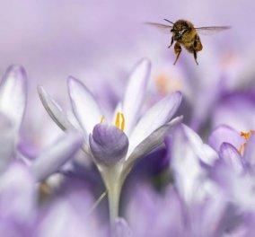 Η φωτογραφία της ημέρας: Η άνοιξη καταφθάνει και η φύση προσκαλεί την μέλισσα!  - Κυρίως Φωτογραφία - Gallery - Video