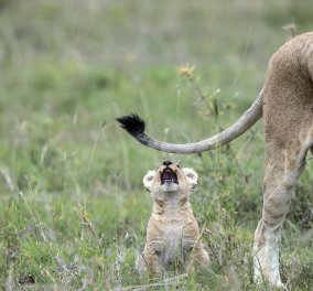 Η φωτό της ημέρας: Παιχνιδιάρικο λιονταράκι δαγκώνει την ουρά της μαμάς του - Κυρίως Φωτογραφία - Gallery - Video