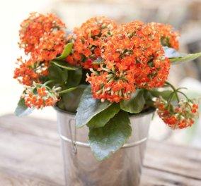 30 υπέροχα φυτά εσωτερικού χώρου για να ομορφύνετε το σπίτι σας - Φώτο - Κυρίως Φωτογραφία - Gallery - Video