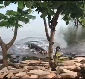 Βίντεο: Κροκόδειλος καταβροχθίζει τον αμέριμνο σκύλο που παίζει στην άκρη του ποταμού  - Κυρίως Φωτογραφία - Gallery - Video