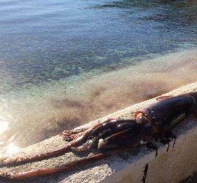 Κεφαλονιά: Ο ψαράς έβγαλε στην στεριά το καλαμάρι της χρονιάς - Μυθικό βάρος & μήκος - Φώτο  - Κυρίως Φωτογραφία - Gallery - Video