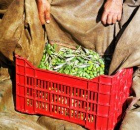 Οι Ελιές Καλαμών των Ελαιώνων Σακελλαρόπουλου, οι πιο υγιεινές στον κόσμο - Κυρίως Φωτογραφία - Gallery - Video