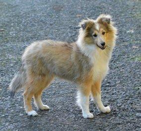 Από ντόμπερμαν έως γερμανικό ποιμενικό κι από λαμπραντόρ μέχρι κόλεϊ: Αυτές είναι οι 10 πιο έξυπνες ράτσες σκύλων (βίντεο) - Κυρίως Φωτογραφία - Gallery - Video