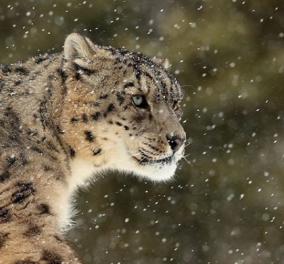 Σπάνιες φωτογραφίες με αιλουροειδή στο... χιόνι! 3 πανέμορφες «μεγάλες γάτες» που θα σας καταπλήξουν με την άγρια ομορφιά τους - Κυρίως Φωτογραφία - Gallery - Video