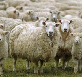 Απίστευτο: Ένα σχολείο στην Γαλλία έγραψε ως νέους μαθητές 15... πρόβατα για να μην κλείσει - Κυρίως Φωτογραφία - Gallery - Video