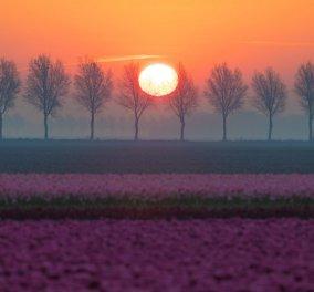 Ηλιοβασίλεμα στους διάσημους αγρούς με τις τουλίπες στην Ολλανδία - Καλειδοσκόπιο χρωμάτων - Κυρίως Φωτογραφία - Gallery - Video