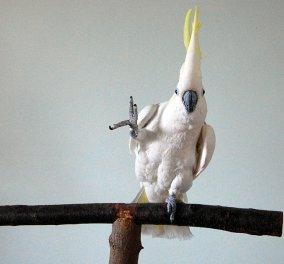 Πουλί θαύμα χορεύει: Οι 14 διαφορετικές φιγούρες του πιο πρωτότυπου χορευτή (βίντεο)  - Κυρίως Φωτογραφία - Gallery - Video