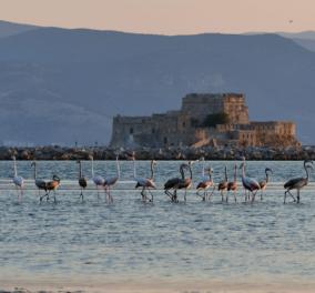 Σμήνος από πανέμορφα ροζ φλαμίνγκο έκανε... «απόβαση» στο Ναύπλιο (φωτό) - Κυρίως Φωτογραφία - Gallery - Video