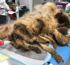Απίστευτο: Παρατημένος σκύλος Είχε τρίχωμα σχεδόν όσο το βάρος του - Δείτε την μεταμόρφωσή του  - Κυρίως Φωτογραφία - Gallery - Video