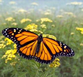 Από κάμπια σε πεταλούδα: Η διαδικασία της μεταμόρφωσης μέσα από ένα εκπληκτικό βίντεο! - Κυρίως Φωτογραφία - Gallery - Video