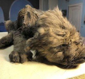 Σιβηρία: Κουτάβι ετών...18.000 αφήνει άφωνους τους επιστήμονες - Ο αρχαιότερος σκύλος ή λύκος; (φώτο) - Κυρίως Φωτογραφία - Gallery - Video
