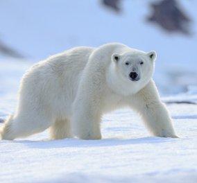 """Βίντεο που """"κόβει την ανάσα"""": Πολικές αρκούδες γλιστρούν καθώς λιώνουν οι πάγοι - Παρασύρονται στα παγωμένα νερά - Κυρίως Φωτογραφία - Gallery - Video"""