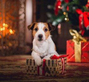 """Βίντεο: Θα """"λιώσετε"""" με αυτόν τον υπέροχο σκύλο: Στολίζει μόνος του το χριστουγεννιάτικο δέντρο και ...γίνεται viral  - Κυρίως Φωτογραφία - Gallery - Video"""
