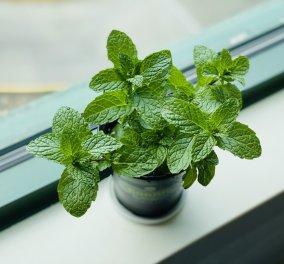 Εκχύλισμα Μέντας: 5 απλά βήματα για να το φτιάξετε από τα φύλλα του φυτού! - Κυρίως Φωτογραφία - Gallery - Video