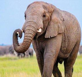 Ινδία: Οργή & συγκίνηση για τον θάνατο της ελεφαντίνας που έφαγε ανανά με κροτίδα - Συνέλαβαν τον Π. Γουίλσον - Κυρίως Φωτογραφία - Gallery - Video