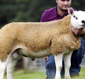 Απίστευτο: Το ακριβότερο πρόβατο του κόσμου - Πουλήθηκε έναντι 408.000 ευρώ (Φωτό & Βίντεο)  - Κυρίως Φωτογραφία - Gallery - Video