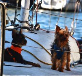 Με καπετάνιους σκύλους έληξε το Woof Race 2020 στην Κέρκυρα – Θαυμάσιες φωτό με τα αδέσποτα στο πηδάλιο  - Κυρίως Φωτογραφία - Gallery - Video