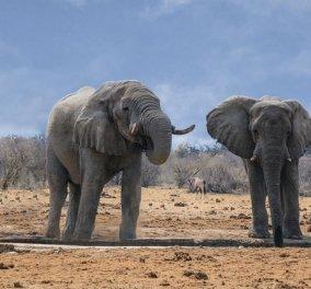 Τραγωδία με τον μυστηριώδη θάνατο 330 ελεφάντων στη Μποτσουάνα - Ποιος σκότωσε τους γίγαντες (φωτό) - Κυρίως Φωτογραφία - Gallery - Video
