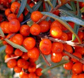 Ιπποφαές: Τo σούπερ φρούτο – Γεμάτο οφέλη για τη υγεία μας - Κυρίως Φωτογραφία - Gallery - Video