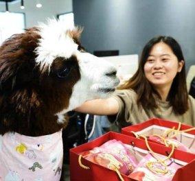 Κινέζικη εταιρεία προσέλαβε Alpaca κατά του… εργασιακού στρες  - Για να ηρεμεί τους υπαλλήλους (βίντεο) - Κυρίως Φωτογραφία - Gallery - Video