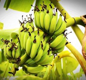 Μπανάνα: 5 οφέλη του πιο διάσημου φρούτου – Tips για την υγεία σας  - Κυρίως Φωτογραφία - Gallery - Video