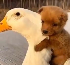Το βίντεο της ημέρας: Το νεογέννητο σκυλάκι αγκαλιάζει σφιχτά μία πάπια - Κυρίως Φωτογραφία - Gallery - Video