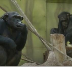 Οι χιμπατζήδες κάνουν zoom: Η είδηση δεν είναι μαϊμού - Τα αεικίνητα ζώα επικοινωνούν με τις νέες τεχνολογίες (βίντεο) - Κυρίως Φωτογραφία - Gallery - Video