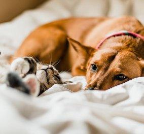 Σκύλοι & γάτες κολλάνε Κορωνοϊό από τους ιδιοκτήτες τους - Τέλος ο ύπνος στο ίδιο κρεβάτι για γατάκι & σκυλάκι  - Κυρίως Φωτογραφία - Gallery - Video