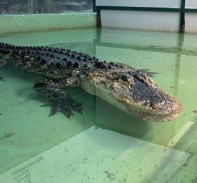 Αν αντέχετε, δείτε το βίντεο: Ο αλιγάτορας αρπάζει την κοπέλα που τον φρόντιζε, ο «σούπερμαν» την σώζει, παλεύει με το ερπετό και... - Κυρίως Φωτογραφία - Gallery - Video