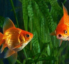 Απολέπιση με χρυσόψαρα! Το Fish Spa είναι η φυσική απάντηση στο κλασσικό pedicure & θα σας αποζημιώσει (βίντεο) - Κυρίως Φωτογραφία - Gallery - Video