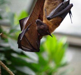 80χρονος πέθανε από λύσσα - Τον δάγκωσε νυχτερίδα καθώς κοιμόταν - Το πρώτο περιστατικό μετά από 70 χρόνια - Κυρίως Φωτογραφία - Gallery - Video