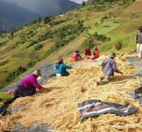2013 Παγκόσμιο έτος Κινόα από τον ΟΗΕ - Κινόα εστί ο χρυσός σπόρος που όλοι οι αστεράτοι σεφ ερωτεύτηκαν - Κυρίως Φωτογραφία - Gallery - Video