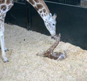 Τα πρώτα βήματα μιας γλυκούλας νεογέννητης καμηλοπάρδαλης στο ζωολογικό κήπο του Κονέκτικατ-δείτε εικόνες και βίντεο!   - Κυρίως Φωτογραφία - Gallery - Video