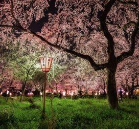 Η φωτογραφία της ημέρας - Εκπληκτικό τοπίο με τις ανθισμένες κερασιές στην Ιαπωνία! - Κυρίως Φωτογραφία - Gallery - Video