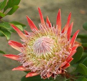 Πρωτέα:  Καλλιεργήστε και κερδίστε από το ανθεκτικό λουλούδι της Αφρικής - Κυρίως Φωτογραφία - Gallery - Video