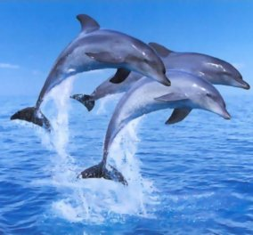 Tα δελφίνια έχουν εξαιρετική μνήμη, την πιο ισχυρή μετά τον άνθρωπο !  - Κυρίως Φωτογραφία - Gallery - Video