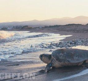 Good news: τραγουδούν με συνοδεία τσέλου στο Ρέθυμνο γιατί εκεί γεννήθηκαν τα πρώτα χελωνάκια φέτος ! (φωτογραφίες)  - Κυρίως Φωτογραφία - Gallery - Video