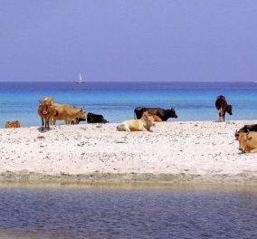 Smile: Κολυμπώντας μαζί με τις αγελάδες στην Κορσική! (φωτό)  - Κυρίως Φωτογραφία - Gallery - Video