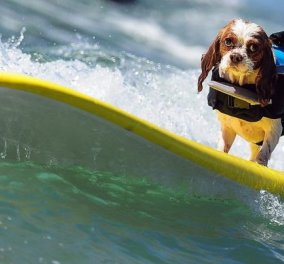 Η φώτο της ημέρας: Διαγωνισμός surf μόνο για σκύλους στην Καλιφόρνια! - Κυρίως Φωτογραφία - Gallery - Video