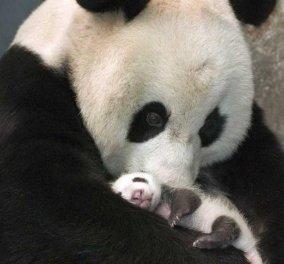 Πόσο τρυφερές εικόνες: μητέρα πάντα βλέπει για πρώτη φορά το μωρό της και το αγκαλιάζει σαν να είναι άνθρωπος! (βίντεο) - Κυρίως Φωτογραφία - Gallery - Video