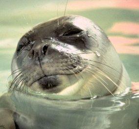 Σύρος: Δείτε την φώκια στο λιμάνι της Σύρου που κολυμπά με εξαιρετική άνεση! (βίντεο) - Κυρίως Φωτογραφία - Gallery - Video